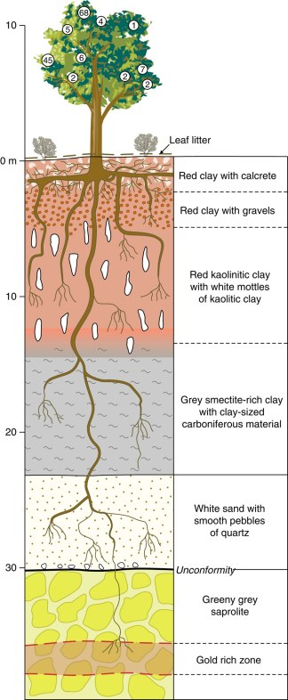 "Eucalyptus root system. Image from Lintern, Melvyn. ""Natural gold particles in Eucalyptus leaves and their relevance to exploration for buried gold deposits"". Nature Communications 4 (2013): n. pag. Web. 30 Oct 2013."